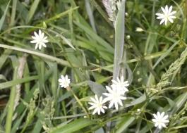 Lesser Stitchwort June