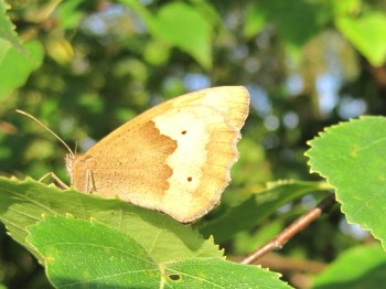 Meadow Brown at Mayfields