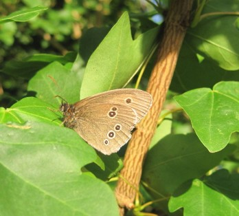 Ringlet at Mayfields