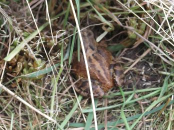 Common frog, well camouflaged in the long grass!