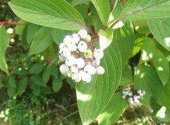 Dogwood berries (1)