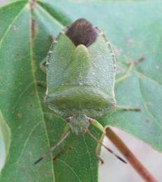 Green Shieldbug (3)