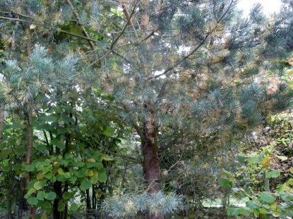 Needle problem of S pine Sept 2014