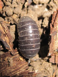 Pill Woodlouse (1)