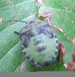 Shieldbug-unknown (1)