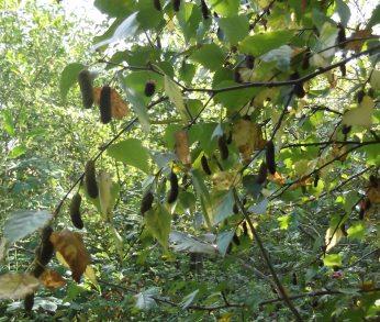 Birch seeds in Autumn