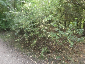 Blackthorn beside path