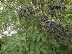 Elder berries Sept 2014