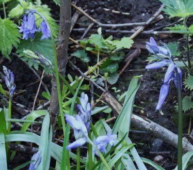 EnglishBluebellL-Apr (2)