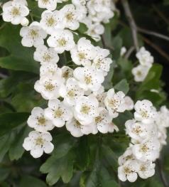 Hawthorn May