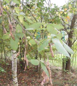 Laburnum leaves and pods Oct 2014