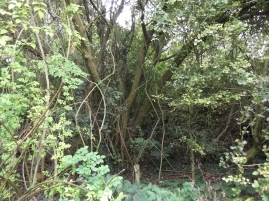 Large goat willow in dip