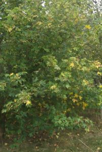 Maple Sept 2014