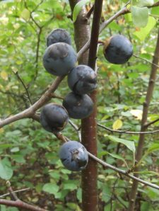 Ripe sloes 26th Sept