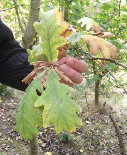 Short leaf stems on Quercus Robur