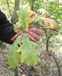 Short leaf stems on Quercus Robur