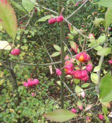 Spindle tree 3