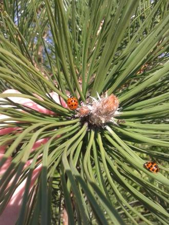 Ladybirds April 2015