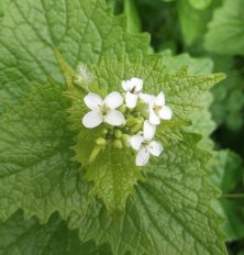 Jack under the Hedghe Garlic Mustard May 1st 2015
