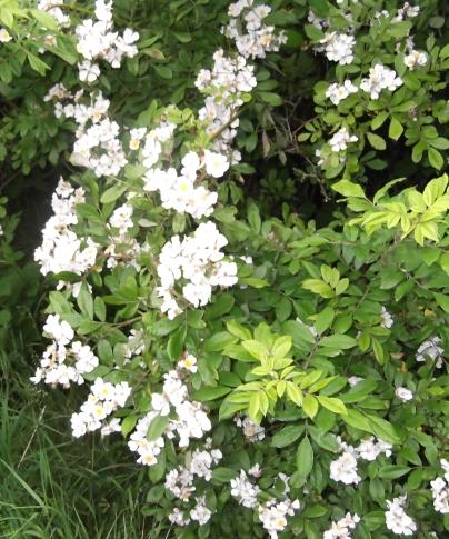 Burnet Rose June