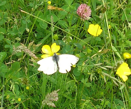 Male large white on the meadow (female has 2 black spots on each wing).