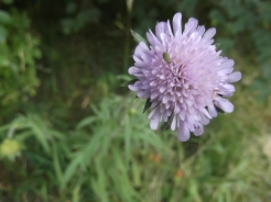 Scabious_July2015