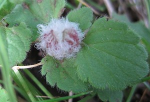 Insect Gall (1)