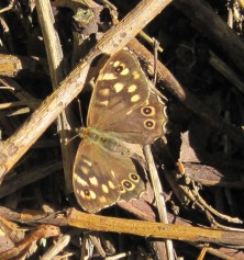 Speckled Wood1 (1)
