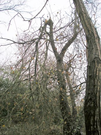 Wind-damaged tree, December