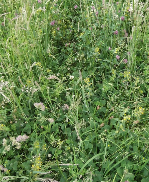 Yellow Rattle June 16-2016