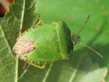 A Green Shield Bug on Mayfields.